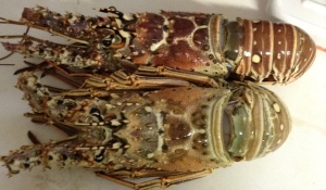 Fresh Bermuda Lobster